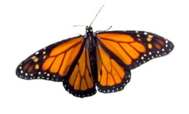 kupu-kupu cantik